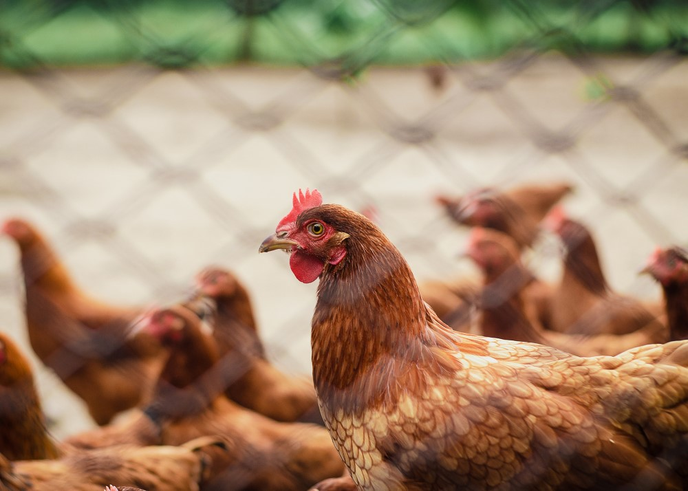 Read more about the article NEWCASTLE DISEASE CONTROL AND THE EFFECTIVENESS OF BIOSECURITY