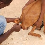 IMPACT OF LIVESTOCK DISEASES ON FOOD SAFETY